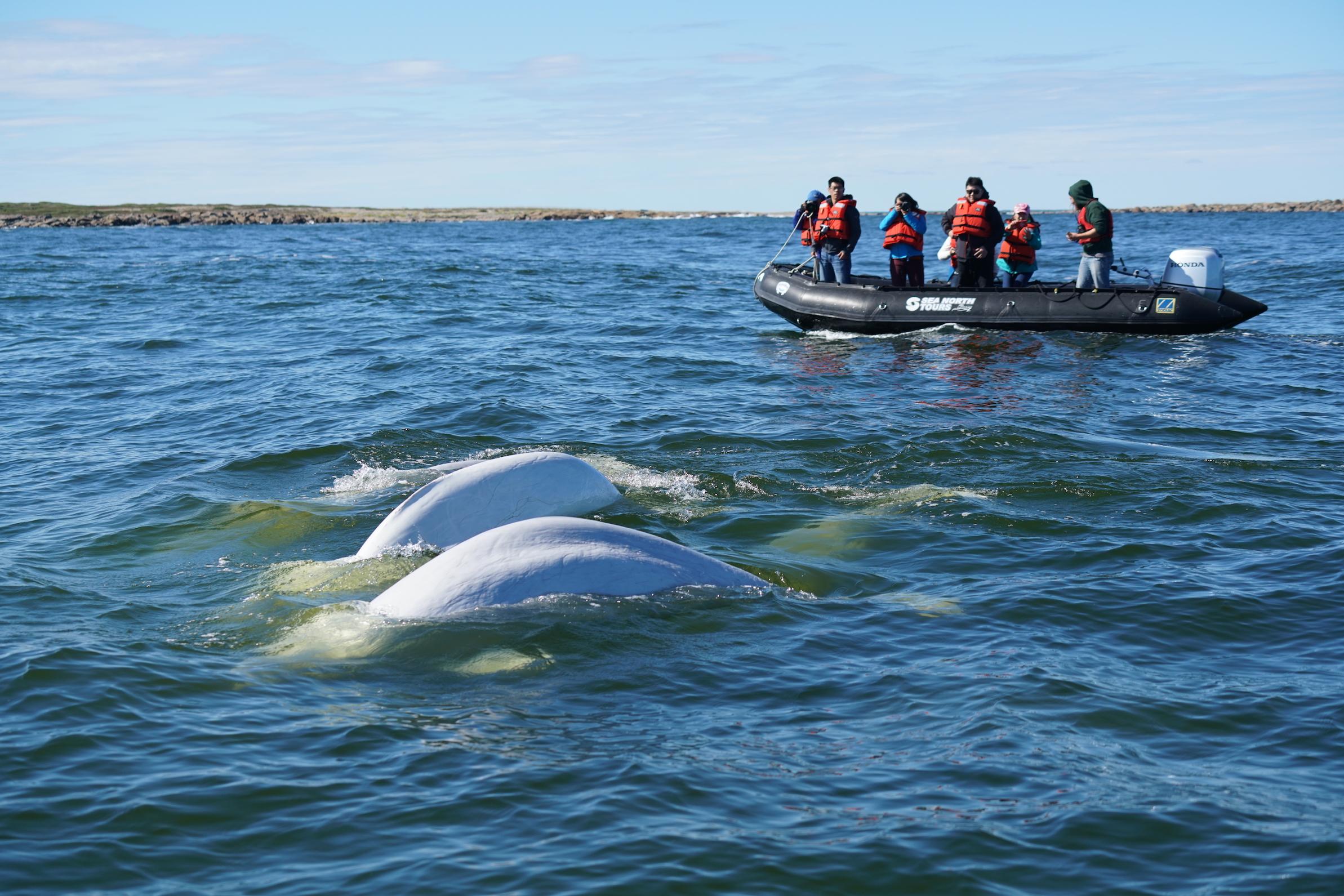 Beluga whales in the Churchill River. Photo Zhang Yongpen.